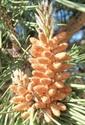 Picture of 15. Aleppo Pine