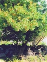 Picture of 16. Turpentine Tree