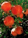Picture of 18. Pomegranate