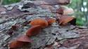 Picture of 20. Oak's Mushroom