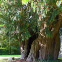Picture of Yew Tree
